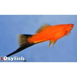 Xipho rouge wagtail  5.5 cm xiphophorus helleri