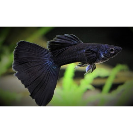 Guppy male Black moscou - full Black - 3.5 cm poecilia reticulata