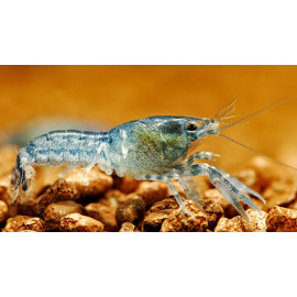 Cambarellus Diminutus Ecrevise Bleu mini 1.5 cm