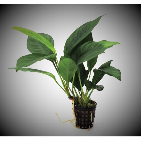 Anubias Heterophylla en pot