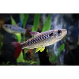 Chalceus Erythrurus - Nageoires Jaunes - 5-5.5cm