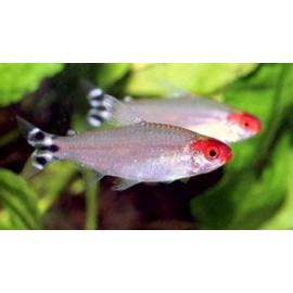 Hemigrammus bleheri nez rouge (l) 3.75-4 cm