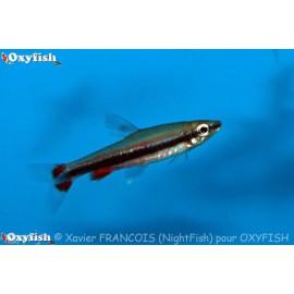 Nannostomus beckfordi poisson crayon dore  3.50 cm