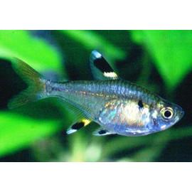 Pristella Maxillaris - Chardonneret d'eau 2-2.5 cm