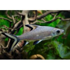 Balantiocheilus melanopterus - Requin argenté - 5.00-5.50cm