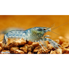Cambarellus diminutus - Ecrevisse bleue du Mexique - 3.00cm