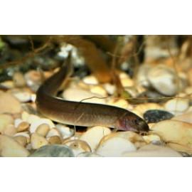 Acanthopthalmus Pangio javanicus - Kuhli noir de Java - 4.00cm