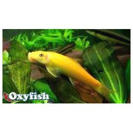 Gyrinocheilus Aymonieri - Mangeur d'algues Doré - 5.00cm