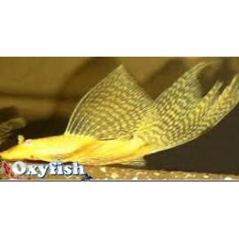 Lot de 3 Ancistrus dolichopterus doré voilé - 2.50-3.00cm