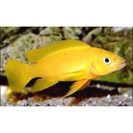 Lamprologus leleupi orange - 3.5-4.0 cm