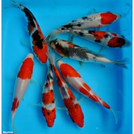 PROMO LOT DE 5  koi Japon Kohaku ,sanke, showa, Aka Matsuba( farm marusei) 16-18 cm