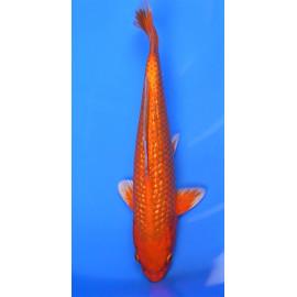 koi Japon ORANGE GIRIN  ( farm marusei) 16-18 cm