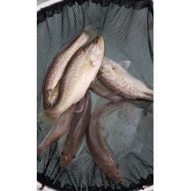 Black Bass -  Micropterus salmoides - 15-18cm