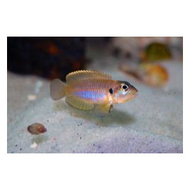 Lamprologus Ocellatus - 2.0-2.5cm