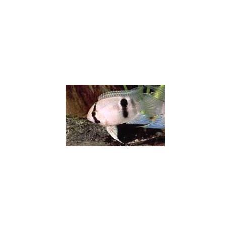 Aequidens / Cleithracara maronii 4.5 cm