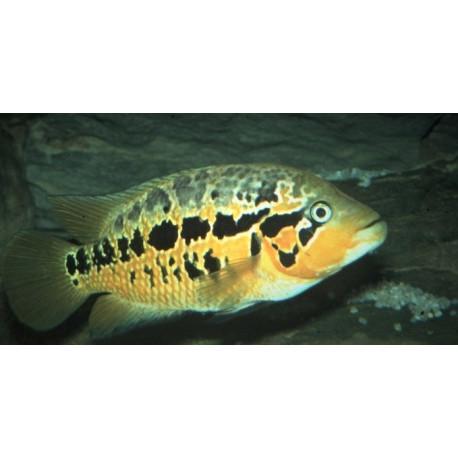 Parachromis Motaguensis - Cichlasoma Motaguensis  2.5-3 cm