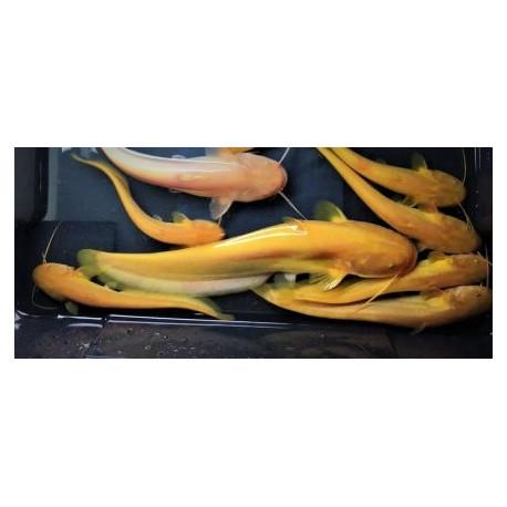 Silure glanis Gold 10-15cm