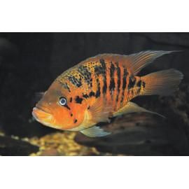 Parachromis Friedrichsthalii - Cichlasoma Friedrichsthalii - 4-5 cm