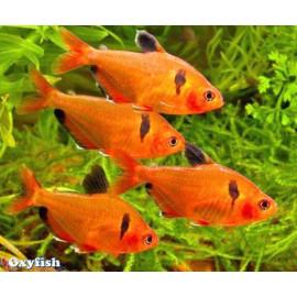 PROMO LOT DE 10 Hyphessobrycon serpae - Tetra serpae super rouge - 2.5-3.0 cm