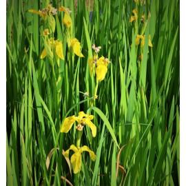 Iris pseudacorus - Iris des Marais en pot