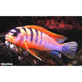Labidochromis Hongi  sweden 3-4 cm
