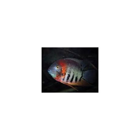 Heros sp. rotkeil - Heros efasciatus 4-4.5 cm