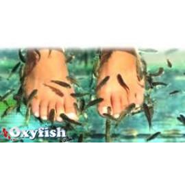 Garra Rufa - Fish Doctor - 2.5-3.5 cm