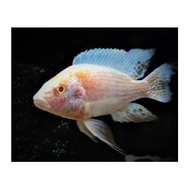 Aulonocara sp. red albino  4-5 cm