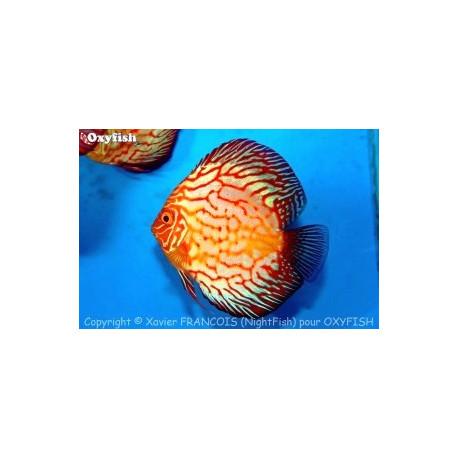 PROMO LOT DE 3 Discus (Marlboro, Red Pigeon Pearl, Snake Pigeon ou Golden) 8-10 cm