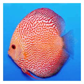 PROMO LOT DE 5 Discus (Piegon chekerboard, Red Melon, Snake Pigeon ou Red melon white face) 5-7 cm