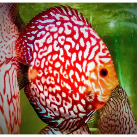 PROMO LOT DE 5 Discus (Pigeon checkerboard, Red Melon, Snake Pigeon ou Red melon white face) 5-7 cm