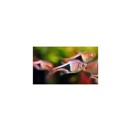 PROMO - LOT DE 10 Rasbora heteromorpha - Rasbora arlequin 2-2.5 cm