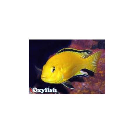 Labidochromis Caeruleus Gold Jaune Citron 3.5-5 cm