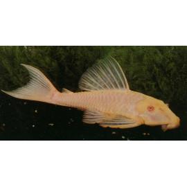 Hypostomus plecostomus doré  4-7 cm