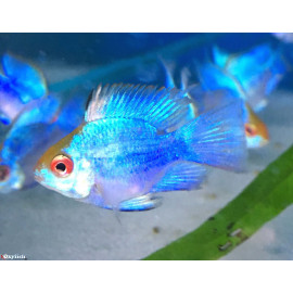 Microgeophagus ramirezi électrique bleu ballon 3.5-4 cm