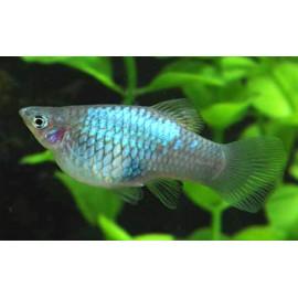 Xiphophorus maculatus - Platy néon bleu 3.00 cm