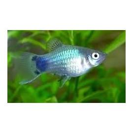 Xiphophorus maculatus - Platy bleu mickey mouse 3.00 cm