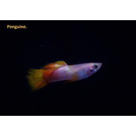 "Poecilia reticulata - Guppy mâle pingouin ""rose belly"" 3.5-4 cm"