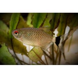 Moenkhausia oligolepis - Tétra aux yeux rouges 3 cm