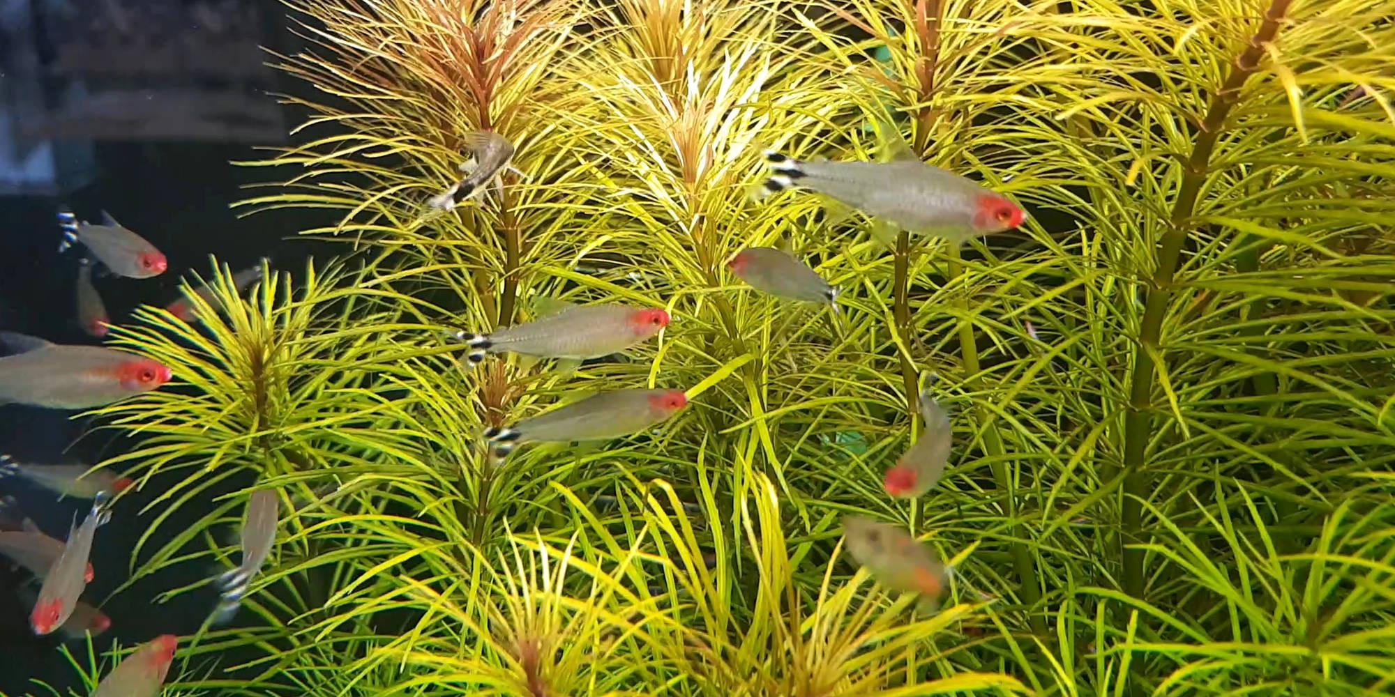 Poissons et plantes pour aquarium, Oxyfish vente en ligne de poissons vivants